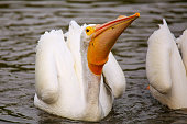 White Pelican (Pelecanus erythrorhynchos) feeding