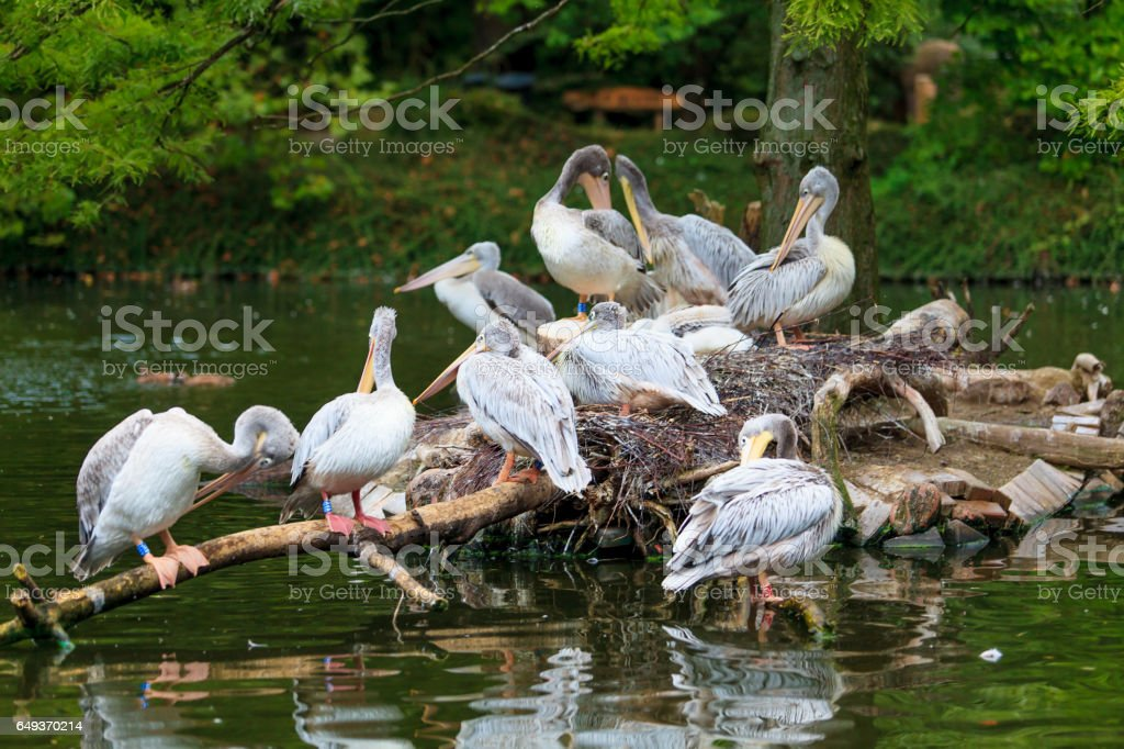 White Pelican.  group of pelicans in the pond stock photo
