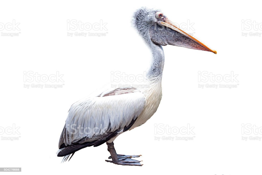 white Pelican isolated on white background stock photo