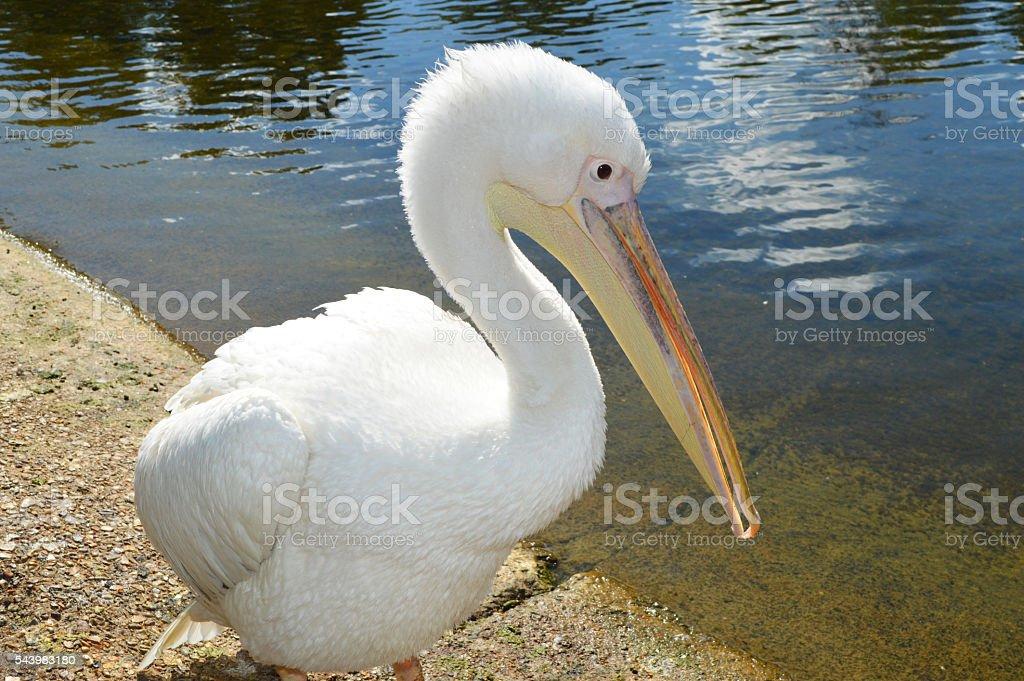 white pelican near lake foto de stock libre de derechos