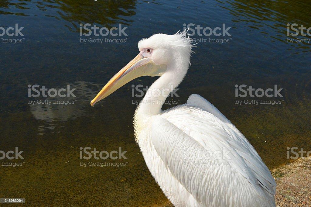 Pelícano blanco foto de stock libre de derechos