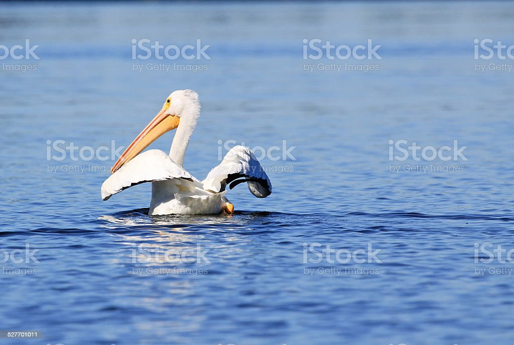 White pelican spreading its wings stock photo