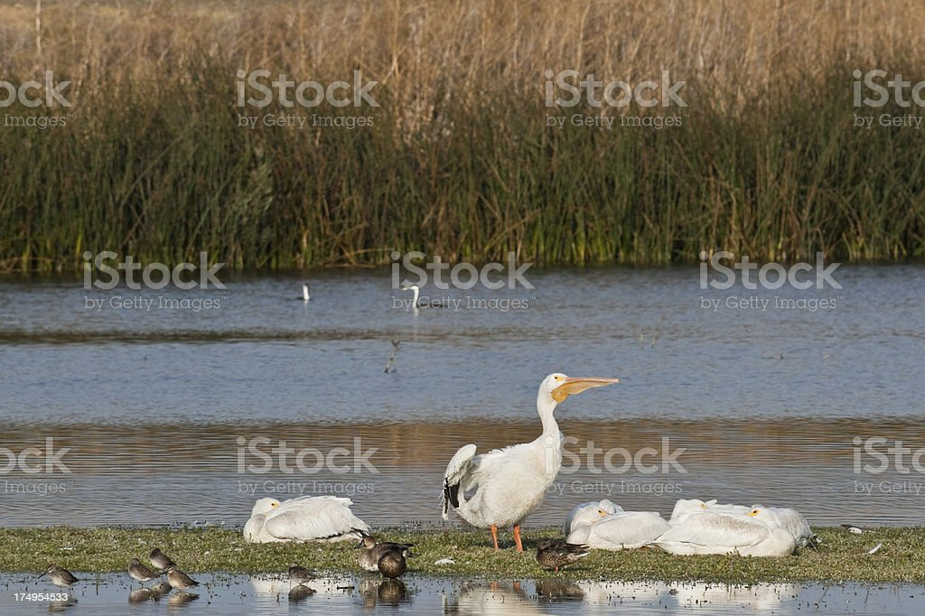 White Pelican Stretching royalty-free stock photo