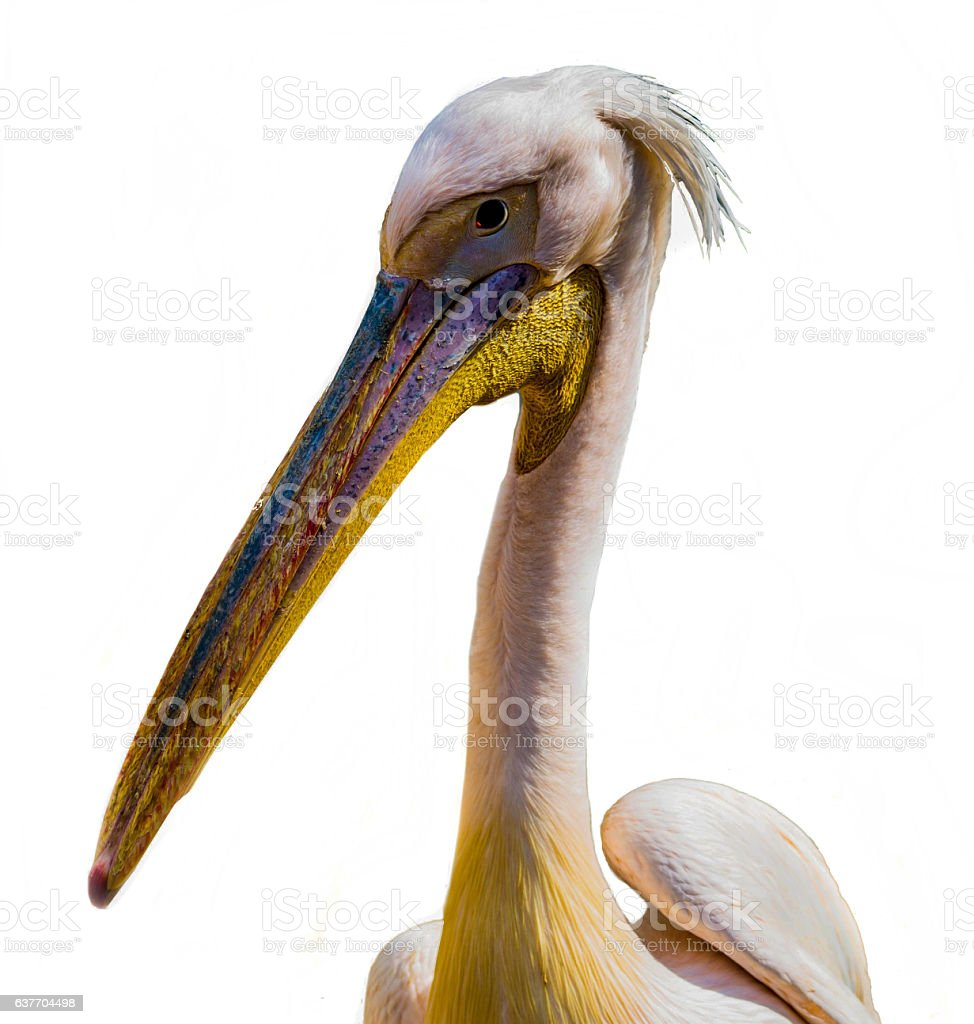white Pelican with a large beak stock photo
