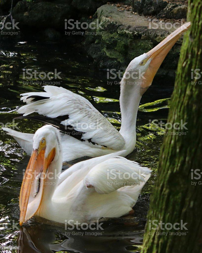 White pelican with fish in long beak photo libre de droits