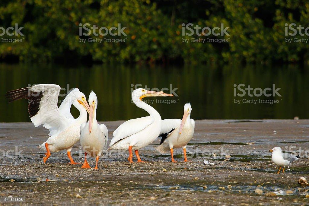 White pelicans (Pelecanus erythrorhynchos) at Ding Darling National Wildlife Refuge stock photo