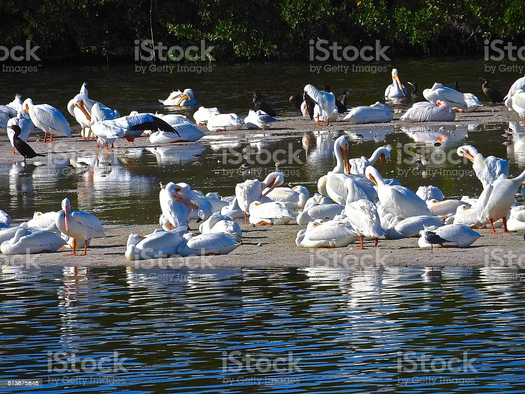 White Pelicans at Ding Darling Wildlife Preserve in Sanibel, FL stock photo