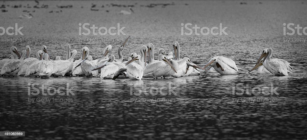 White Pelicans at Panguitch B&W royalty-free stock photo