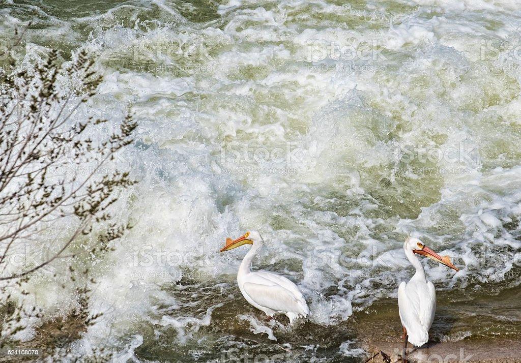 White Pelicans Fishing Beside The South Saskatchewan River stock photo