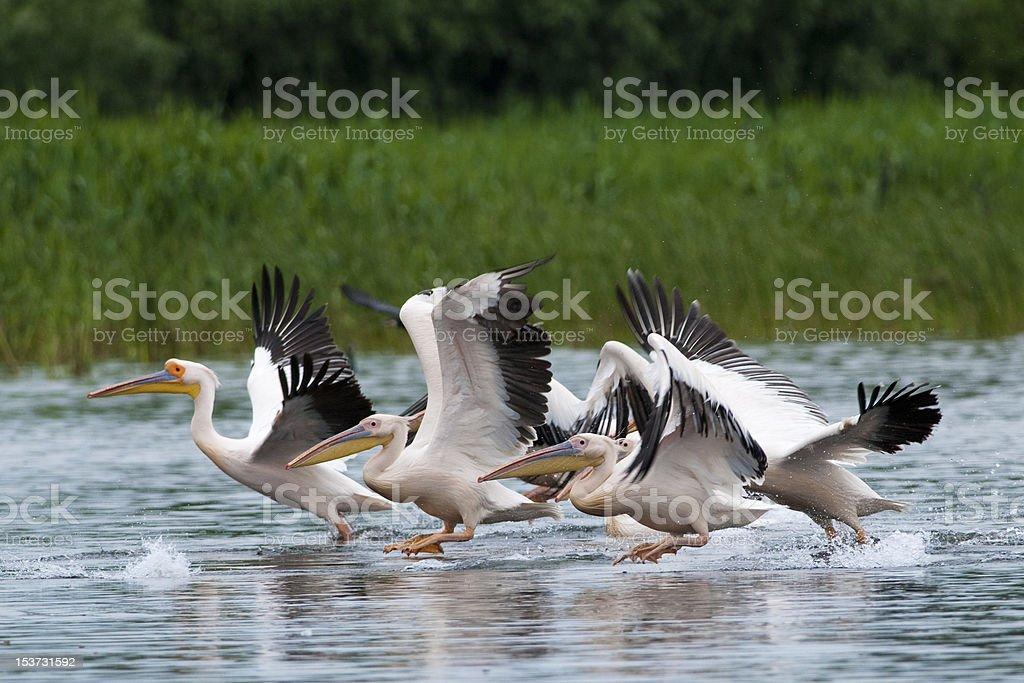 White Pelicans flock royalty-free stock photo