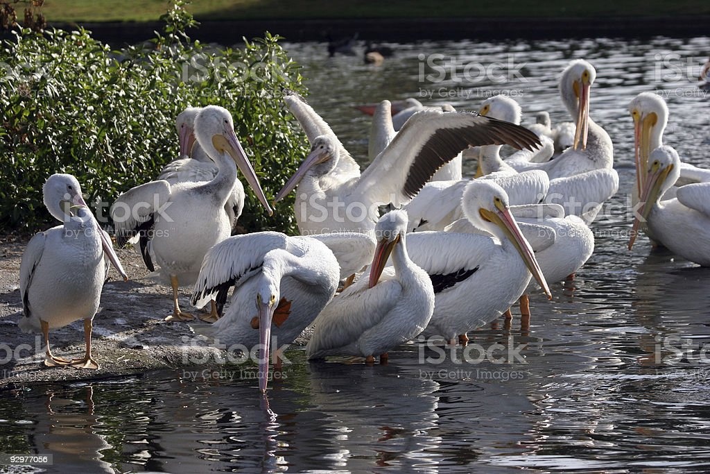 White pelicans on the shore stock photo