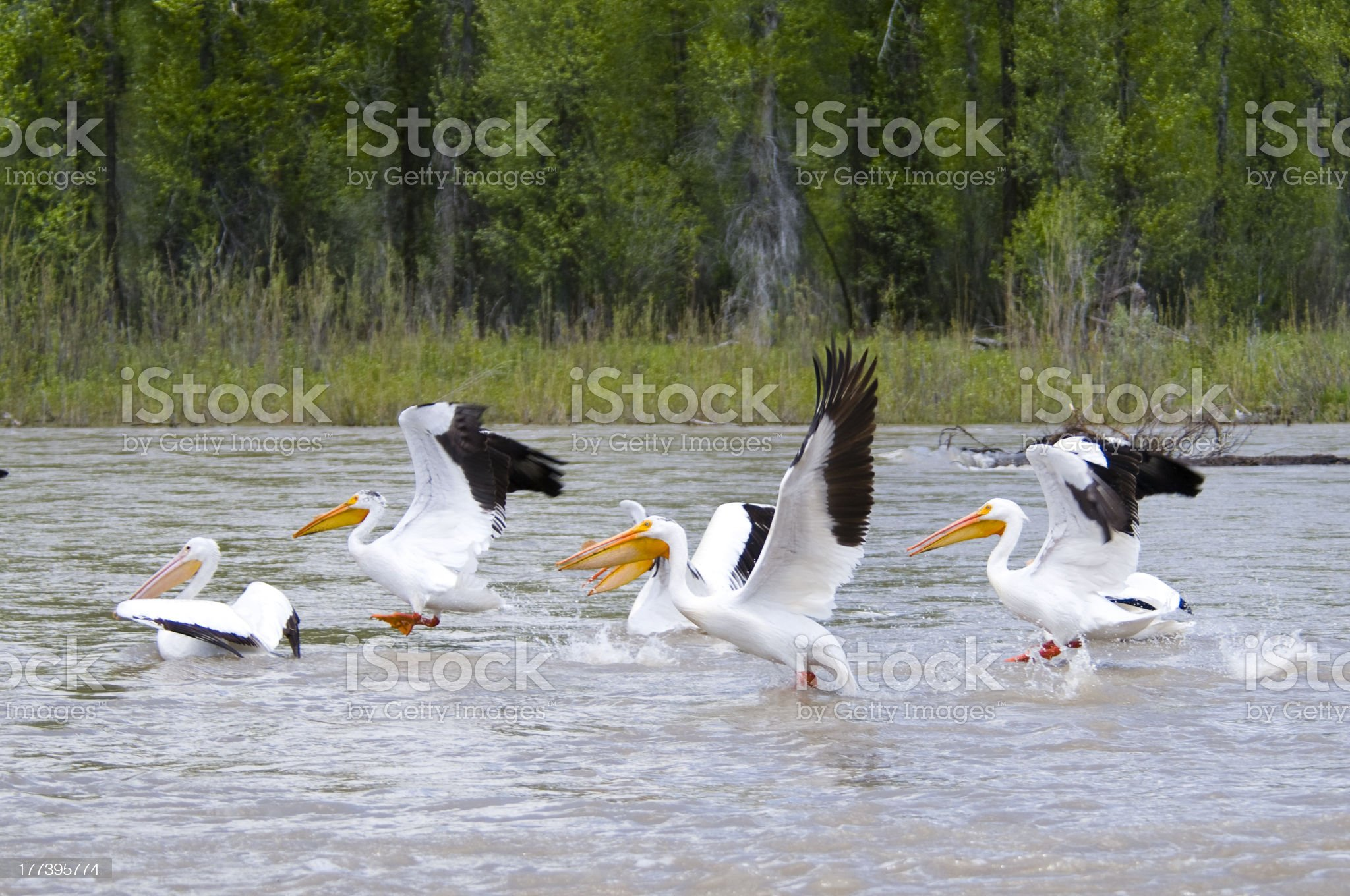 White Pelicans on the Snake River royalty-free stock photo
