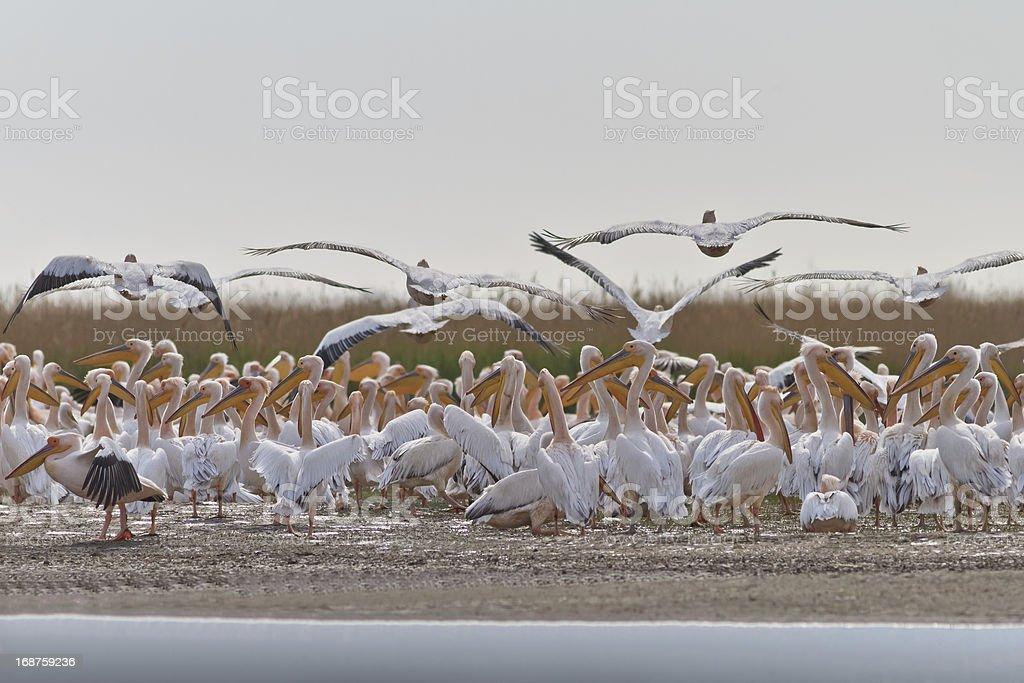white pelicans (pelecanus onocrotalus) royalty-free stock photo