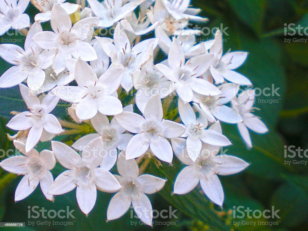 White Pentas Lanceolata stock photo