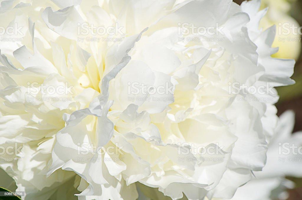 White peony as background stock photo