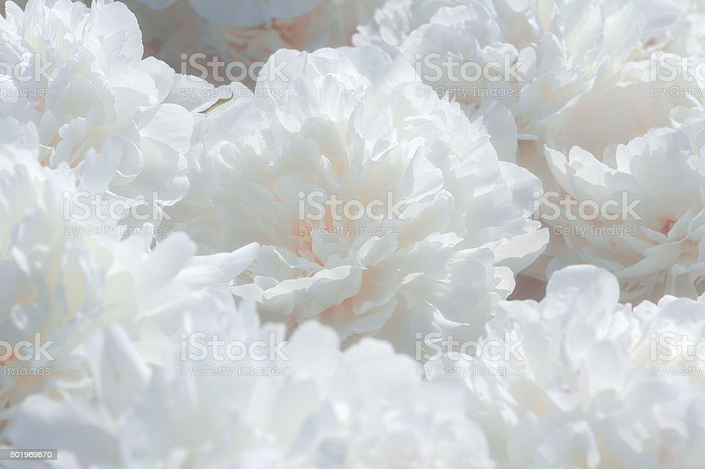 White peony flower background stock photo