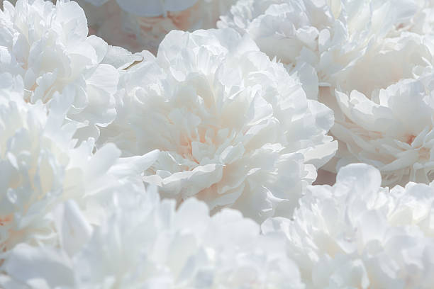 White Flower Pictures, Images and Stock Photos - iStock