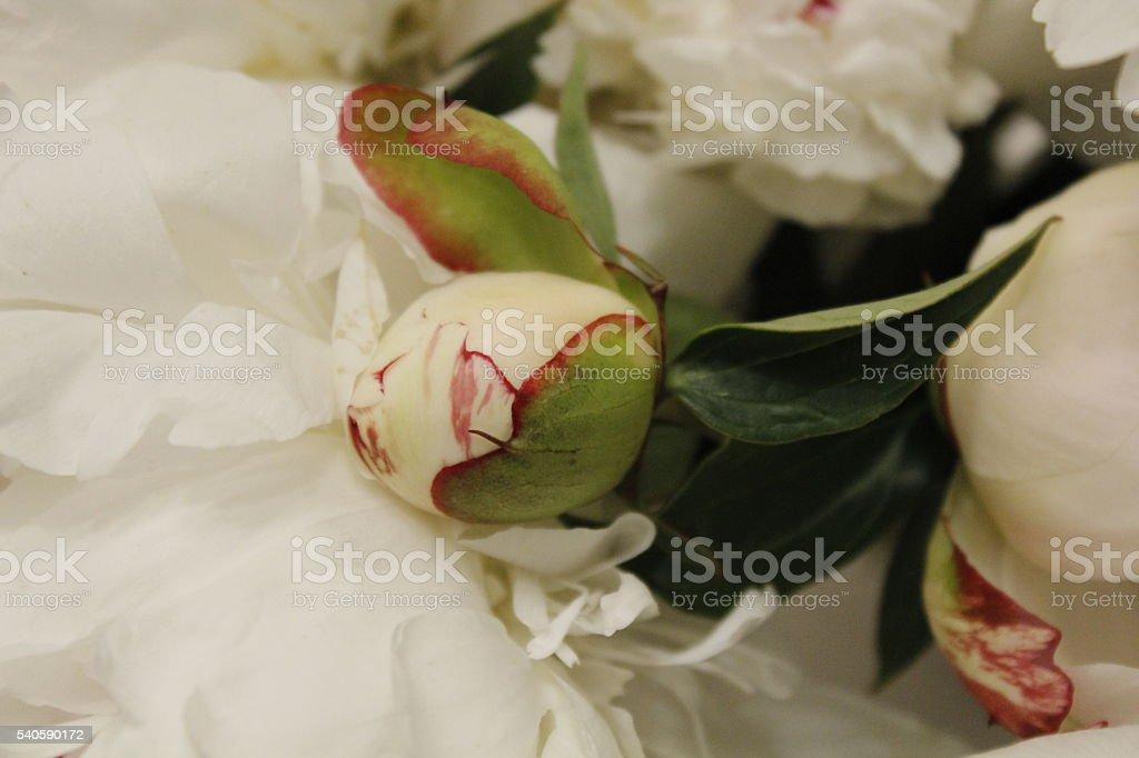 white peony flower stock photo