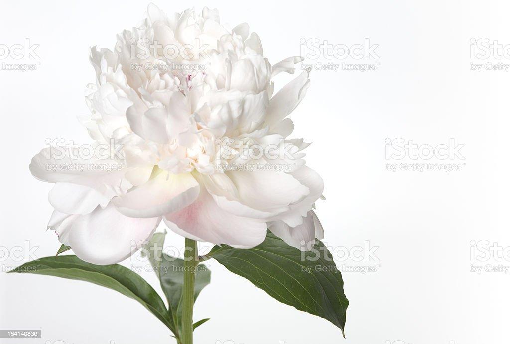 White peony royalty-free stock photo