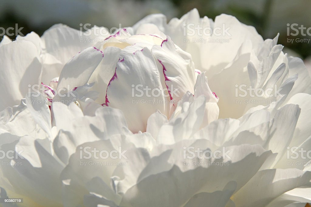 White peony royalty-free stock photo