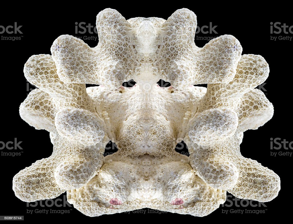 White perfectly symmetrical coral fossil isolated on black background stock photo