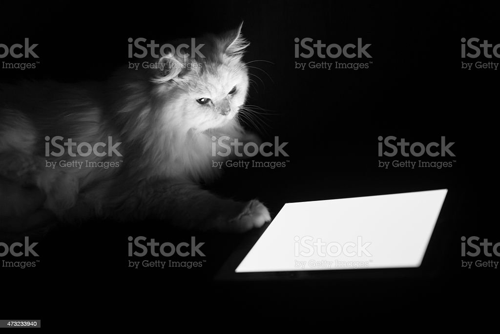 White Persian Cat looking into tablet stock photo