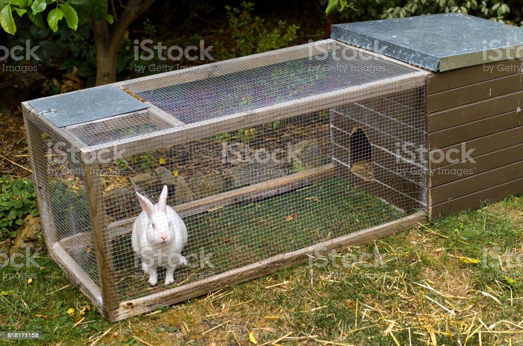 Pet white rabbit in rabbit hutch enclosure in suburban backyardPet...