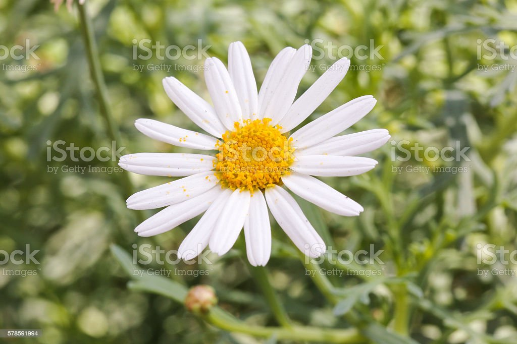 White petal yellow flower stock photo
