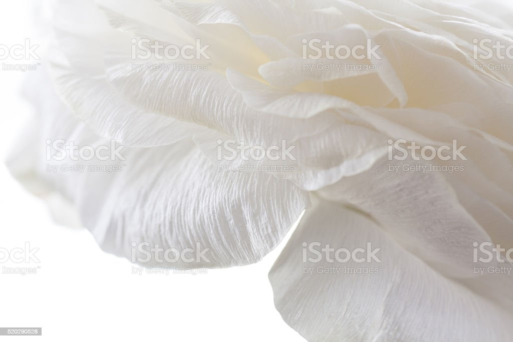 white petals closeup stock photo