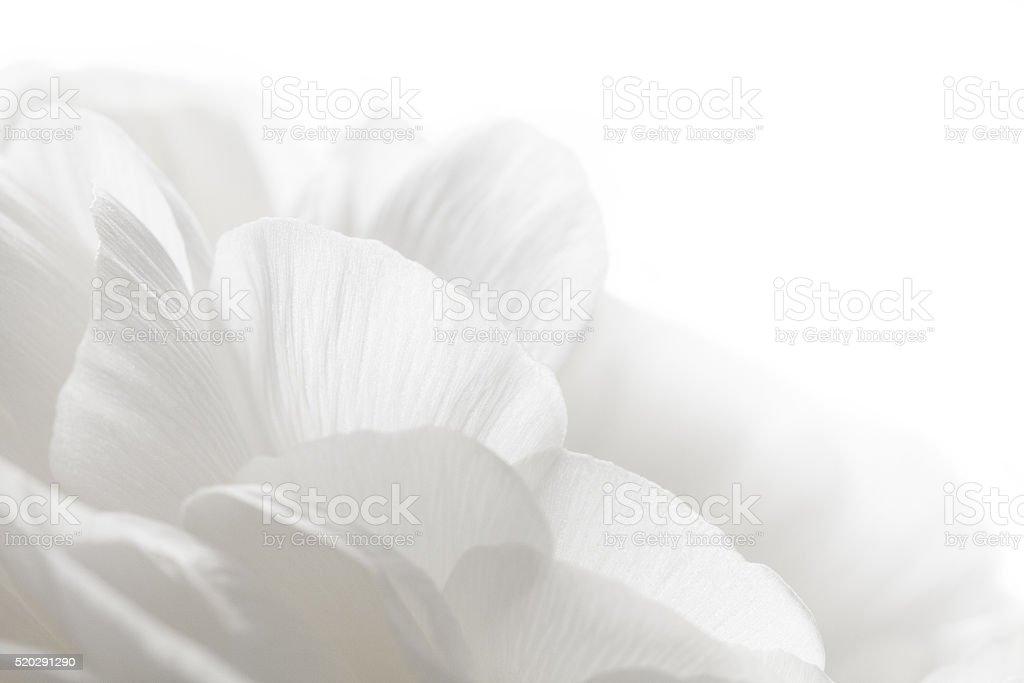 white petals closeup stock photo