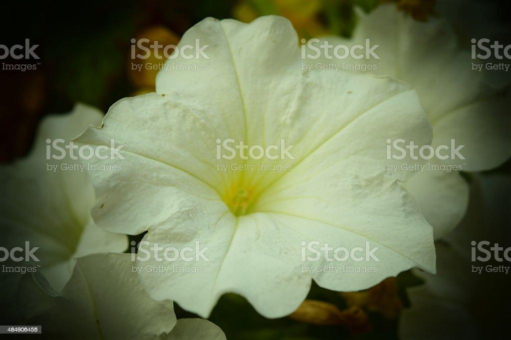 white petunia flower royalty-free stock photo