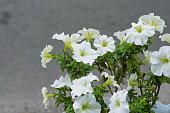 White petunia flowers on background of gray asphalt road