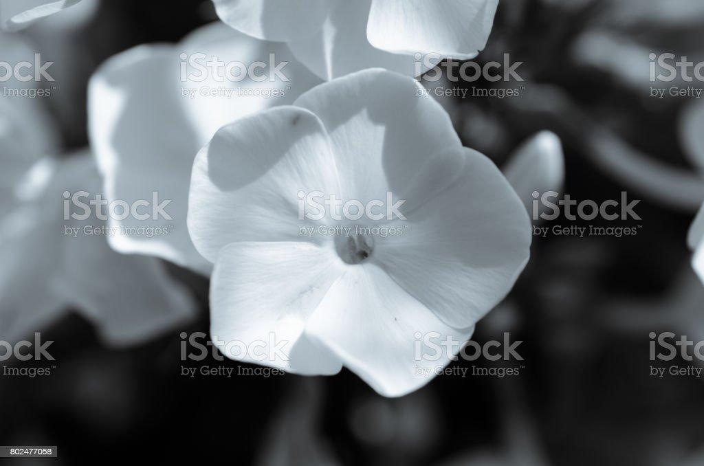 White petunia garden flower close up. Selective focus. Black and white. stock photo