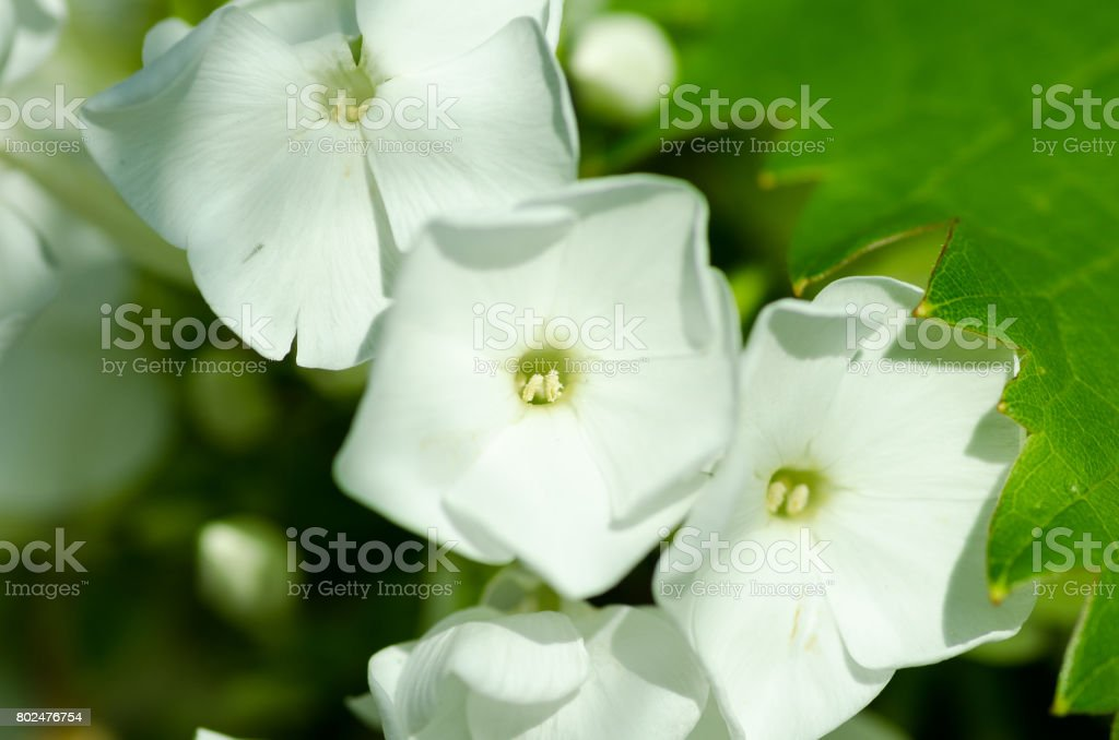 White petunias in the flower garden. Close up. Selective focus. stock photo