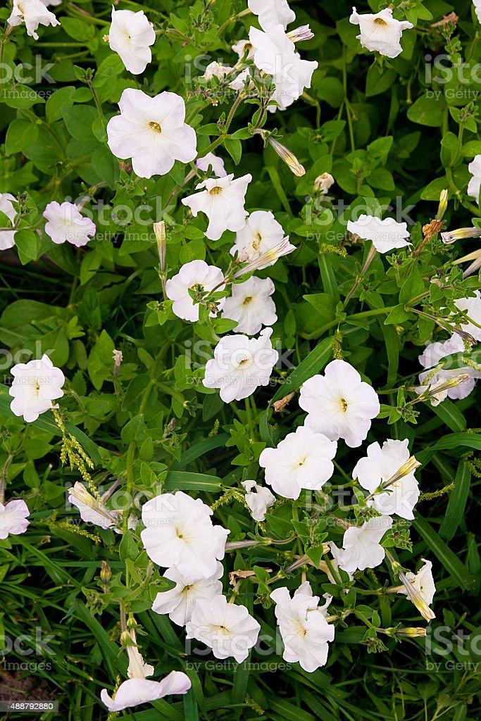 Blanco petunias en la cama con flores. foto de stock libre de derechos