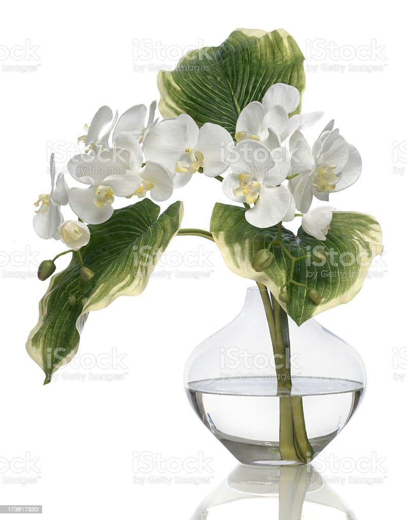 White Phalaenopsis Orchid on a white background royalty-free stock photo