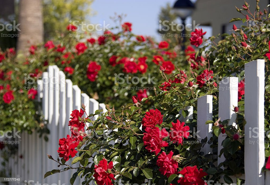 White Picket Fence and Red Roses stock photo