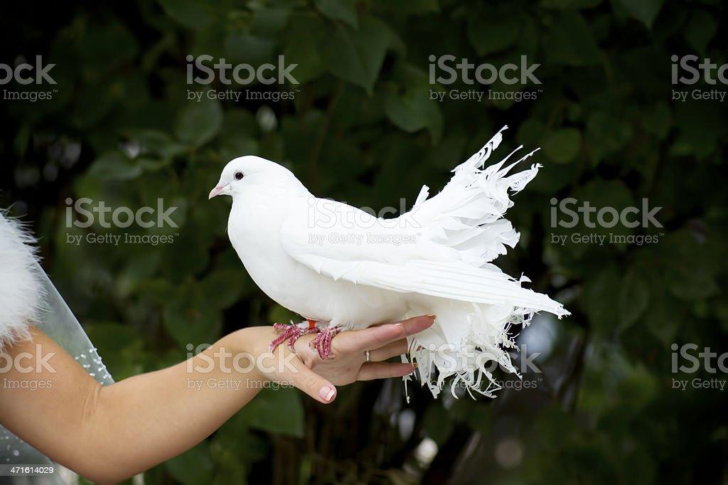 White Pigeon and Female Hand stock photo