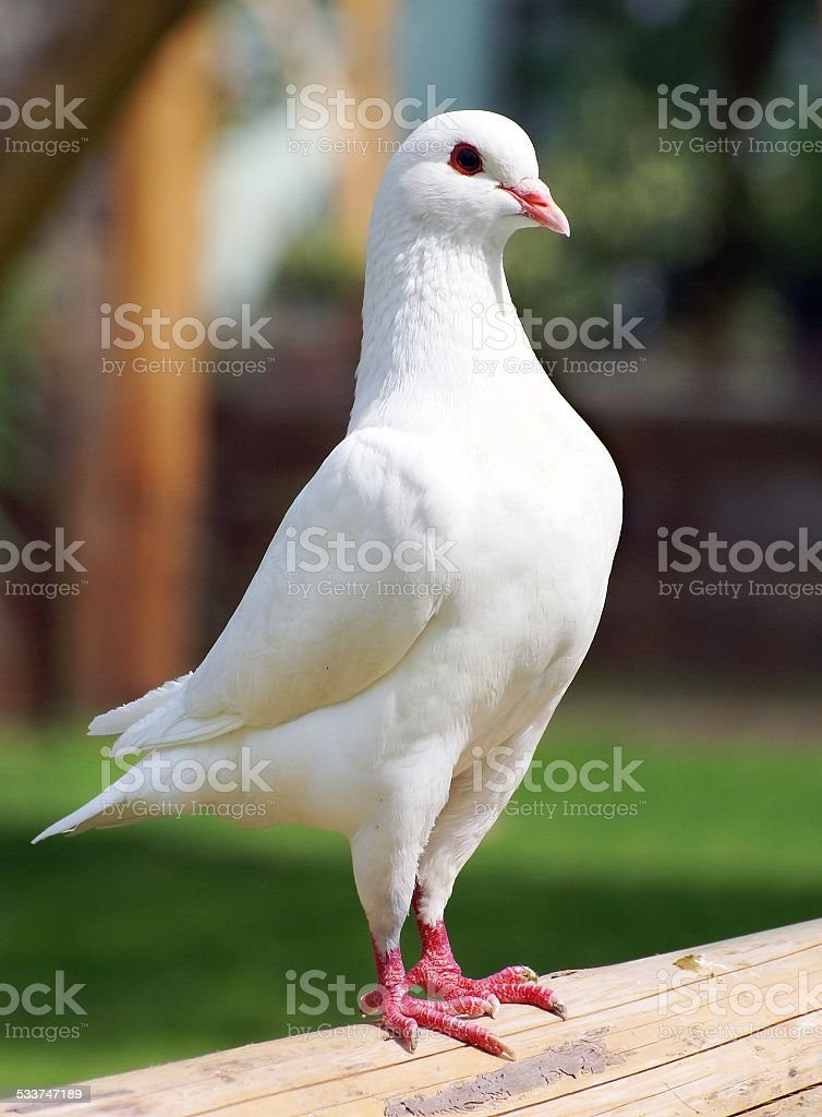 White pigeon - imperial-pigeon - ducula stock photo
