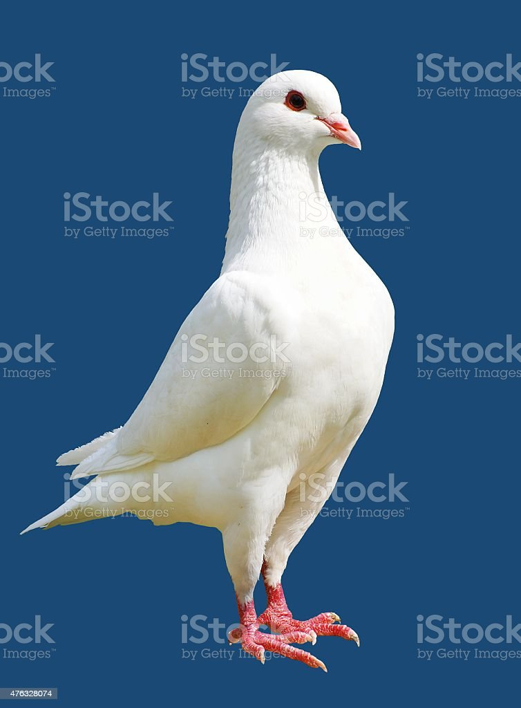 White pigeon isolated on blue background - imperial-pigeon - ducula stock photo