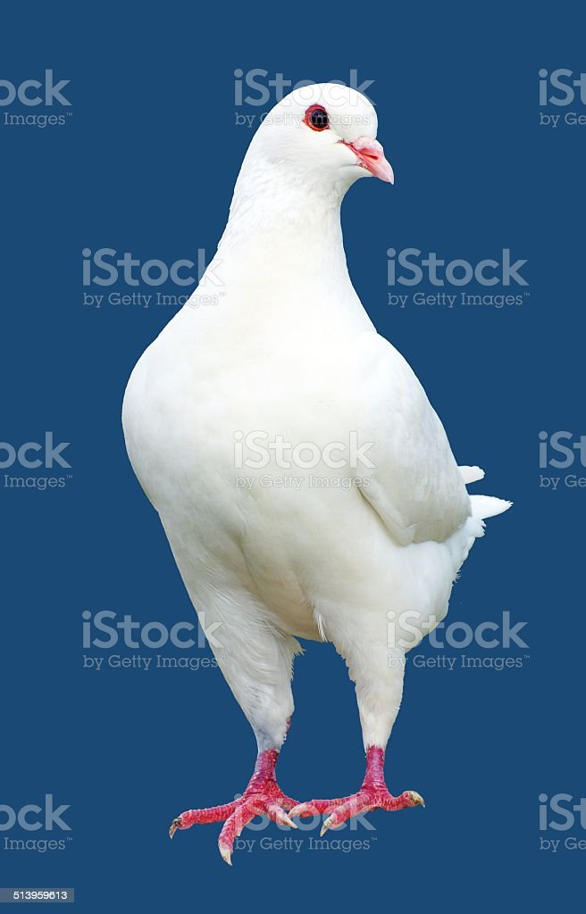 White pigeon isolated on blue background stock photo