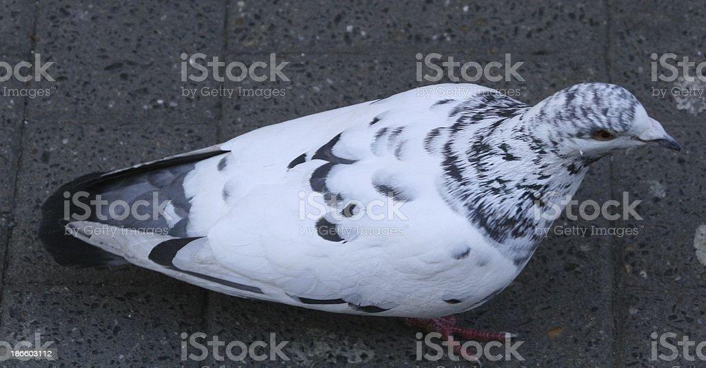 白鳩 ロイヤリティフリーストックフォト