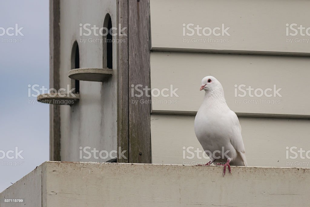 white pigeon with pigeon house stock photo