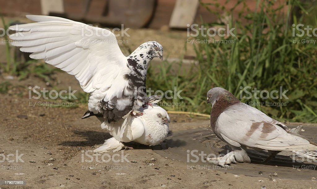 White Pigeons Bird copulating royalty-free stock photo
