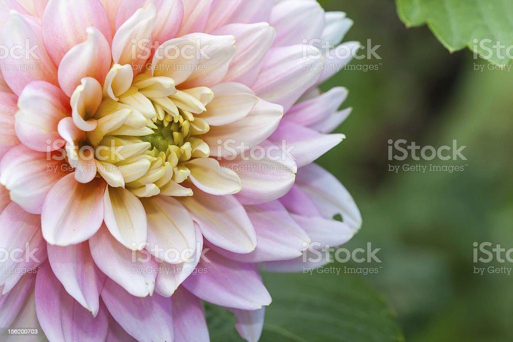 White pink dahlia flower royalty-free stock photo