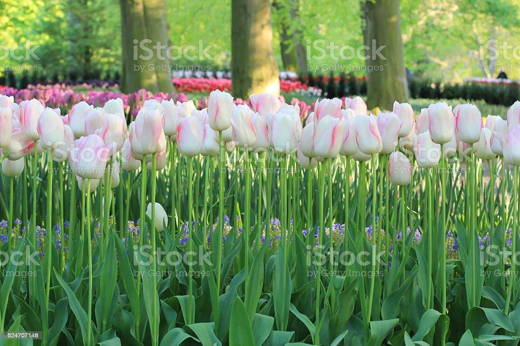 White, pink fresh tulips in the garden. stock photo