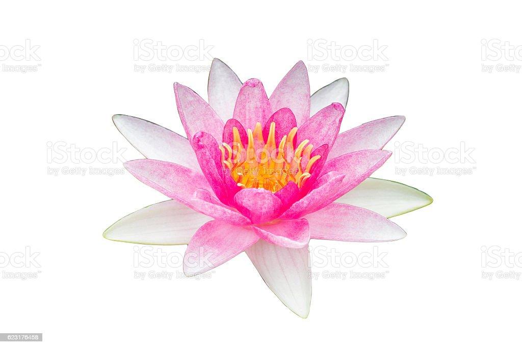 White pink lotus flower on white background. stock photo
