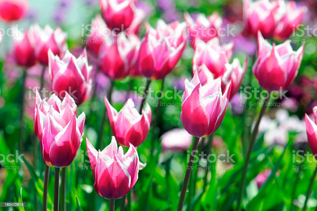 white pink red tulips in back lit stock photo