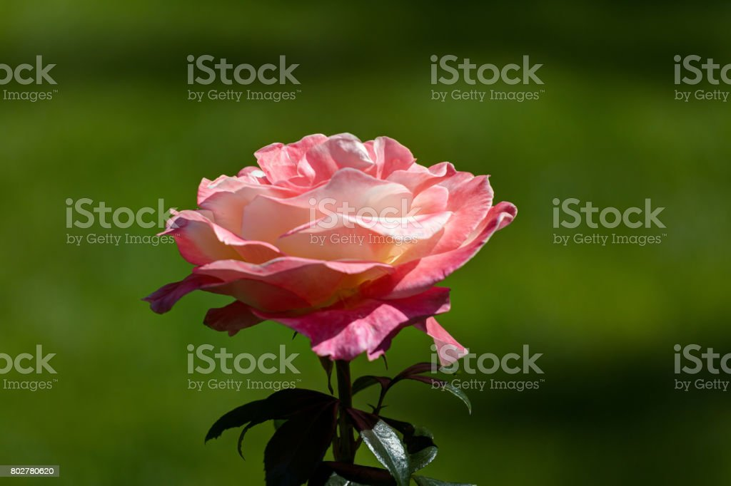 white pink rose in garden stock photo