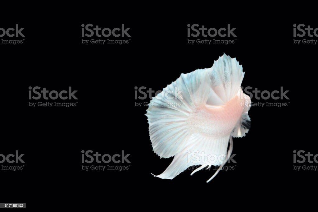 White platinum Fighting fish. stock photo